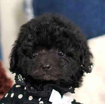 14かわいいブラックの子犬 / トイプードル販売のポッシュ横浜