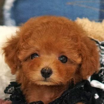 133レッド~アプリの小さな子犬 / トイプードル販売のポッシュ横浜